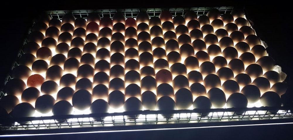 Миражирование лотка с инкубационными яйцами